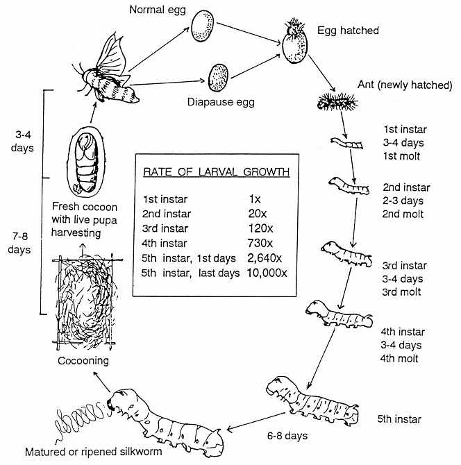 Lifecycle on silkworm life cycle worksheets 2nd grade